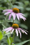Flowers of Echinacea  purpurea in the garden on gr Stock Photo