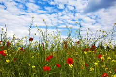 Flowers at the edge of a meadow. Under blue sky Royalty Free Stock Photography