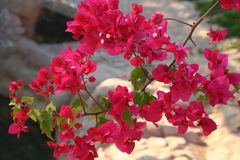 Flowers. Egypt. Branch of flowers. Egypt. Spring Royalty Free Stock Photo