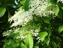 Flowers of elder Stock Images