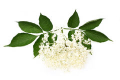 Flowers elderberry Royalty Free Stock Photography
