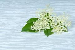 Flowers elderberry Sambucus nigra and elderberry flower on cold white background Stock Photography