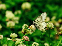 A beautiful butterfly. A beautiful white butterfly is sucking a flower Royalty Free Stock Photos