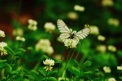 A White  butterfly. A white butterfly is collecting honey Stock Photography
