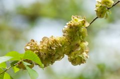 Flowers of Elms, Karagach. Elm Tree, fruits. Of the elm tree Royalty Free Stock Photography