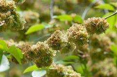 Flowers of Elms, Karagach. Elm Tree, fruits. Of the elm tree Royalty Free Stock Image