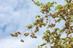 Flowers of Elms, Karagach. Elm Tree, fruits. Of the elm tree Stock Photos