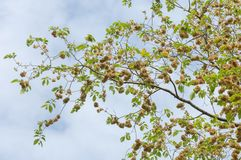 Flowers of Elms, Karagach. Elm Tree, fruits. Of the elm tree Stock Image
