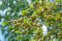 Flowers of Elms, Karagach. Elm Tree, fruits. Of the elm tree Stock Photo