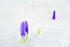 Flowers emerging from snow Royalty Free Stock Photography