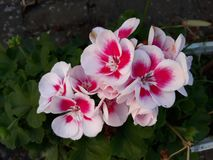 Flowers that enchant you and adorn the garden. In Germany stock photography