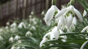 Winter flowers in England crocus and snow drops. Flowers of England growing by tree stock video