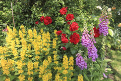 Flowers in an English Country Garden. Red Roses, Fox Gloves and other yellow flowers in an English Country Garden Stock Photos