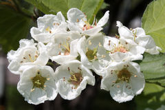 Flowers of English hawthorn Royalty Free Stock Image
