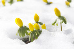 winter aconite, flowers Eranthis hyemalis Royalty Free Stock Photo