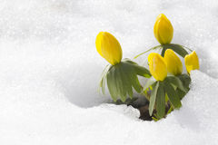 Winter aconite, flowers Eranthis hyemalis Stock Images