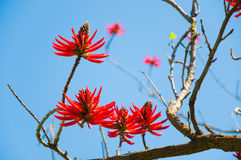 Flowers Of Erythrina Speciosa Stock Photography