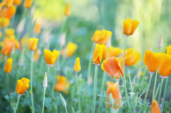 Flowers eschscholzia on the background of the summer landscape. Royalty Free Stock Image