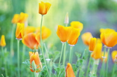 Flowers eschscholzia on the background of the summer landscape. Royalty Free Stock Photos