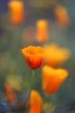 Flowers eschscholzia Stock Photography