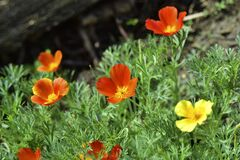 Free Flowers Eshsholtsia California Multicolored With Beautiful Bokeh Stock Images - 192467774