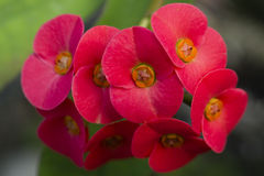 Flowers of Euphorbia milii, crown of thorns, Stock Images