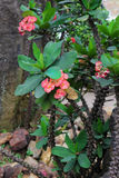 Flowers euphorbias Royalty Free Stock Photos
