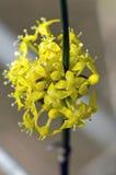 Flowers of European Cornel. Closeup of European Cornel flowers Royalty Free Stock Image