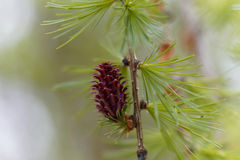 Flowers of a European larch Royalty Free Stock Photo