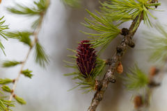 Flowers of a European larch Stock Photos