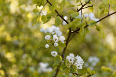 Flowers of a European wild pear Stock Image