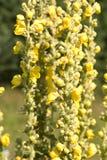 Flowers evening primrose stock photos