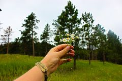 Flowers and Evergreens. A hand holding wildflowers before a field of grass and evergreens royalty free stock photo