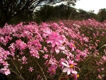 Flowers - Everlastings. Carpet of pink everlastings - wildflowers of Western Australia Stock Photo