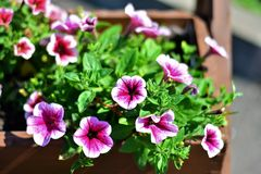 The pot plants. These flowers are nice. Flowers are everywhere, both in nature, with its already huge colorful and fragrant flowers stock photo