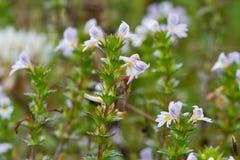 Flowers of Eyebright Stock Photo