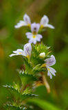 Flowers of Eyebright Royalty Free Stock Photography