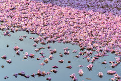 Flowers falling on the surface of water Stock Photos