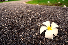 Flowers fell on the walkway in the park. Flowers fell on the walkway in the park in rainning day morning Royalty Free Stock Photo