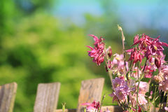 Flowers and fence. Wild pink coloured flowers growing against a wooden fence in a city garden. Set against a green foliage background set in soft focus. Copy Royalty Free Stock Photo