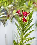 Flowers by fence. Royalty Free Stock Photo