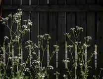 Flowers on fence backdrop. Sunlit flowers in grass  on background of old wooden fence Stock Photos