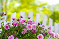 Flowers and fence close-up Royalty Free Stock Images