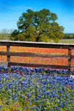 Flowers Fence and Oak 3. Bluebonnets and Indian Paintbrush Wildflowers Framed with a Rustic Fence and a Large Oak Royalty Free Stock Image