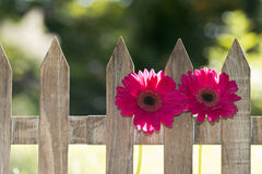 Flowers at a fence Stock Photography