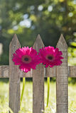 Flowers at a fence Royalty Free Stock Photo