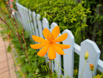 Flowers on fence. Yellow cosmos flowers,Flowers on fence Stock Photos