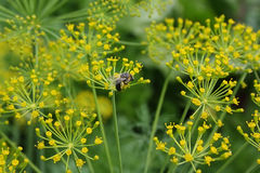Flowers of fennel and a bee in kitchen garden. In  summer day Royalty Free Stock Photography