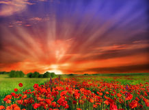 Flowers field. Poppy field and sunset in Serbia Stock Image