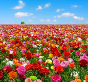 Flowers field. With blue sky Royalty Free Stock Photos